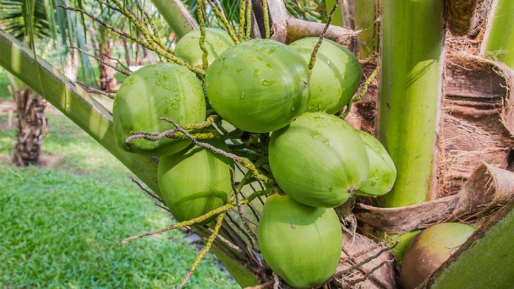 Seagri lança Programa Estadual de Revitalização da Cadeia Produtiva do Coco
